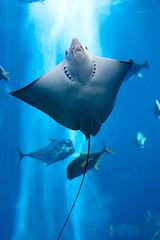 Manta ray floating underwater