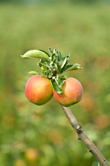 Two fully grown apples in an orchard