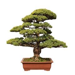 green bonsai tree of pine
