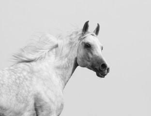 Wall Mural - white arabian stallion