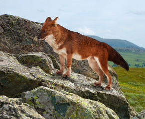 Dhole on rock in windness