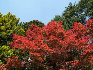 Erable rouge et feuilles en transparence