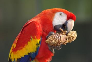 Ara macao ou ara rouge (scarlet macaw)