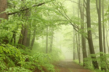 Keuken foto achterwand Bos in mist Forest trail among the beech trees on a foggy May morning