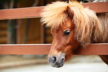 Brow miniature horse. Outdoors