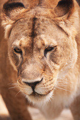 Closeup  portrait of lioness. Outdoors