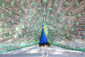 Der Blaue Pfau (Pavo cristatus)