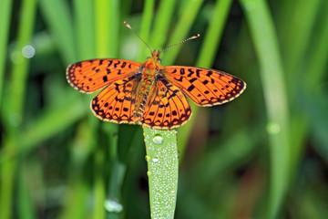 orange butterfly amongst green herb