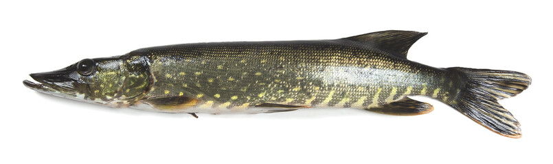 Northern pike, Esox lucius isolated on white background