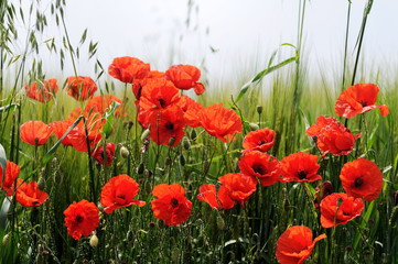 Obraz Poppies - fototapety do salonu