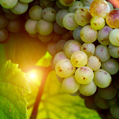 Sunny white grape