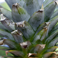 freure d'ananas