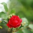 Gartenrose