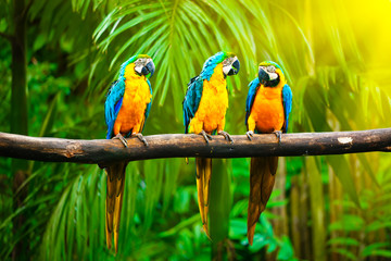 Wall Mural - Blue-and-Yellow Macaw