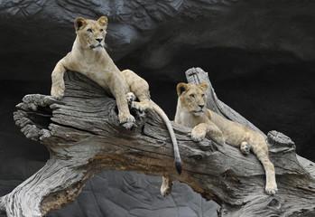 Loewen im Tierpark Hagenbeck
