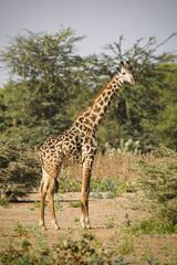 Giraffa, Tanzania