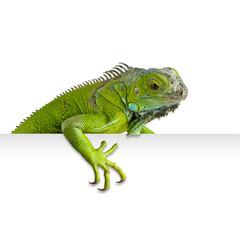 Iguana asomada