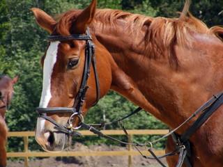 Chestnut horse with bridle portrait