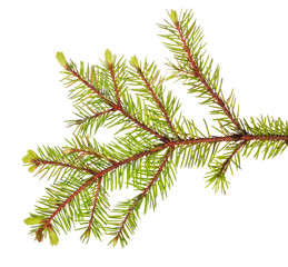 light spring fir branch on white
