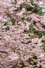 Ornamental cherry tree in Spring