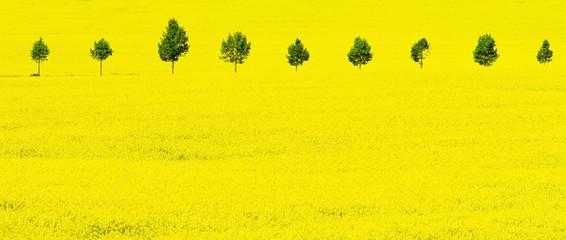 Foto op Aluminium Zwavel geel Gelbes Rapsfeld im Frühling