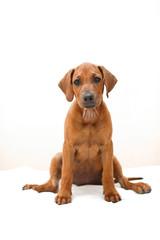 Cute rhodesian ridgeback puppy