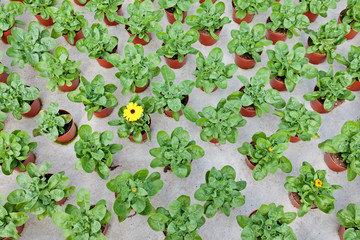 Rows of young marigolds growing inside a greenhouse