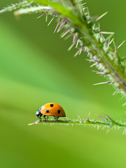 Ladybug sitting on the leaf of a thistle
