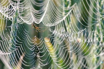 Pająk  pajęczyna w kroplach rosy wczesny ranek - fototapety na wymiar
