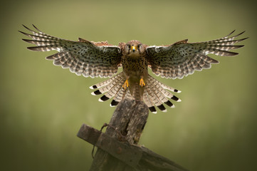 Female Common Kestrel in flight