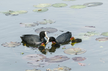 Coot family on a pond