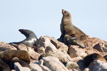 Brown fur seals, Arctocephalus pusillus, South Africa