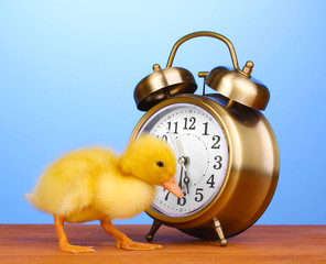 Duckling and alarm clock on wooden table on blue background