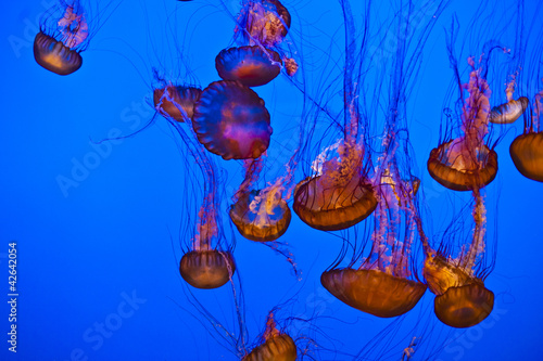 Wall mural jelly fish in the blue ocean