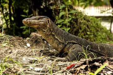 Water monitor (Varanus Salvator) on Tioman island Malaysia
