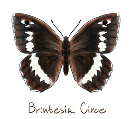Butterfly Brintesia Circe. Watercolor imitation.