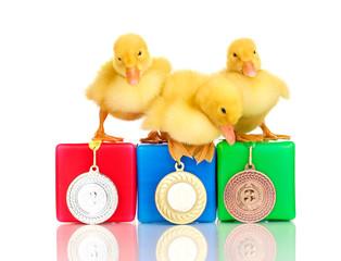Three duckling on championship podium isolated on white