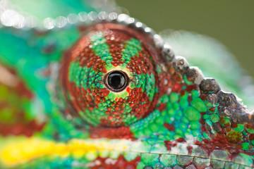 oeil de caméléon de Madagascar