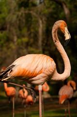 Flamingo acrobata