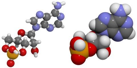 Cyclic adenosine monophosphate (cAMP)