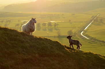 A Sheep And Its Lamb In The Evening Light