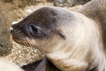 Galapagos Baby Sea Lion