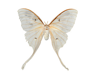 white moth butterfly (Actias artemis) isolated