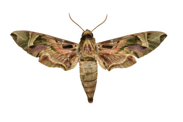 Oleander Hawk-moth (Daphnis nerii) Moth butterfly isolated