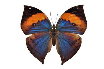 orange butterfly (Orange Oakleaf) isolated on white background