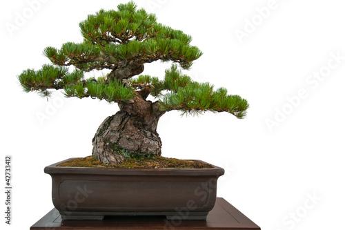 Alte kiefer pinus parviflora als bonsai baum - Kiefer baum kaufen ...