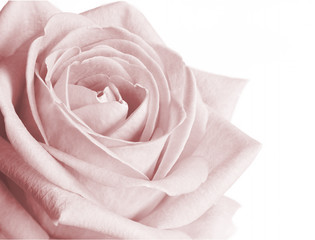 Very pale pink rose on white background