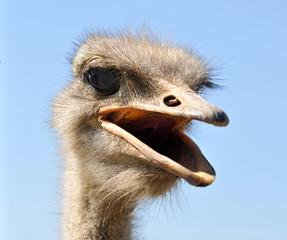 portrait of a scolding ostrich
