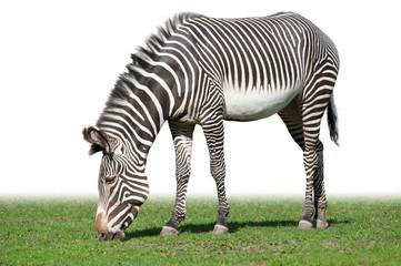 Pasturing Grevy's zebra