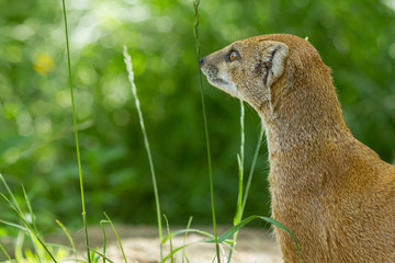 Close-up of a yellow mongoose (cynictis penicillata)